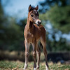 Bella's first foal, Wingates One Knight Stan