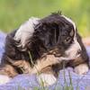 Squrril X Rouger 2021 puppies-823