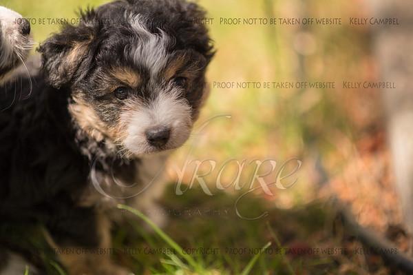 Squrril X Rouger 2021 puppies-800