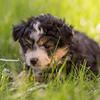 Squrril X Rouger 2021 puppies-815
