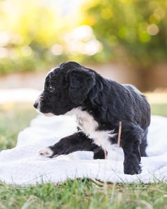 S & R puppy 5-509