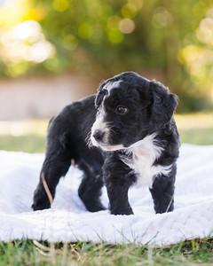 S & R puppy 5-507
