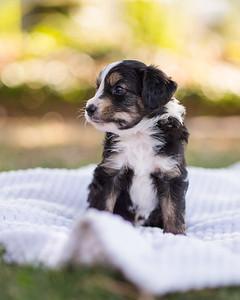 S & R puppy 6-605