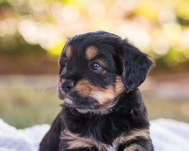 S & R puppy 7-701