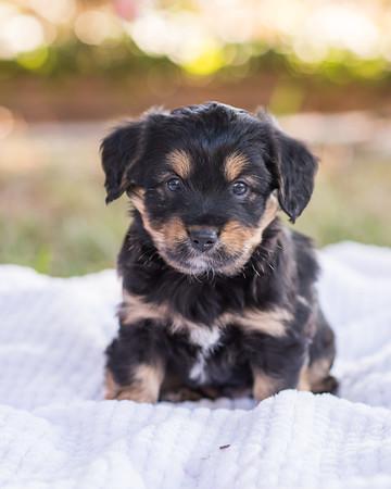 S & R puppy 7-706