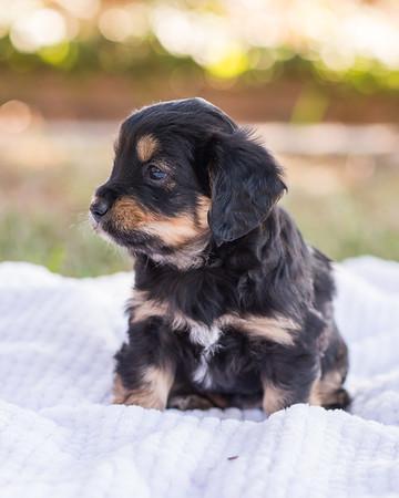 S & R puppy 7-707