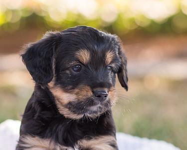 S & R puppy 7-703