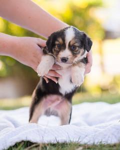 S & R puppy 3-102