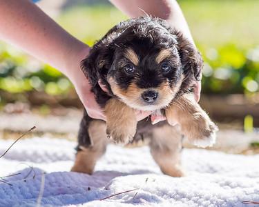 Aussiedoodle puppies skyler-108