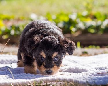 Aussiedoodle puppies skyler-100