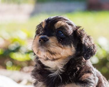 Aussiedoodle puppies skyler-104