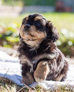 Aussiedoodle puppies skyler-105