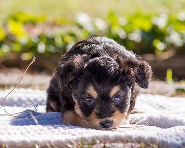 Aussiedoodle puppies skyler-102
