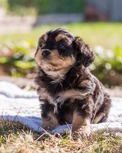Aussiedoodle puppies skyler-103