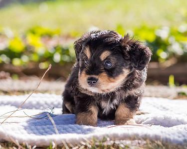 Aussiedoodle puppies skyler-101