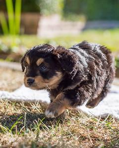 Aussiedoodle puppies skyler-106