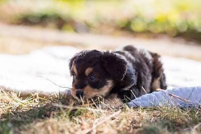 Aussiedoodle puppies skyler-115