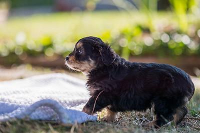 Aussiedoodle puppies skyler-110
