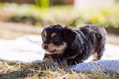 Aussiedoodle puppies skyler-114