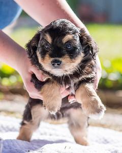 Aussiedoodle puppies skyler-109