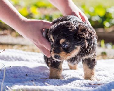 Aussiedoodle puppies skyler-107