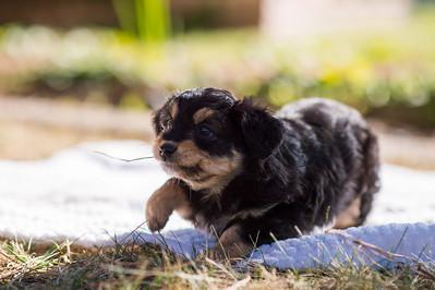 Aussiedoodle puppies skyler-113
