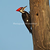 Pileated Woodp[ecker