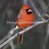 Male Cardinal I