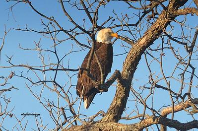 Bald Eagle nesting alongside the Llano River, Llano, TX
