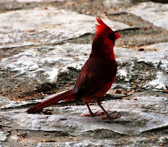 Cardinal on duty