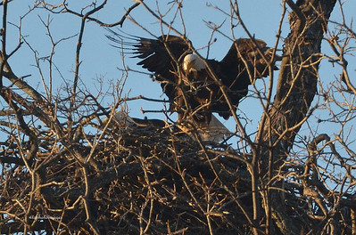 Bald Eagle coming to rest