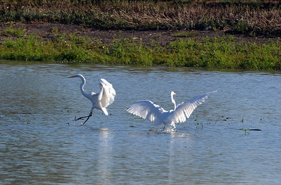 Great Egret Dance