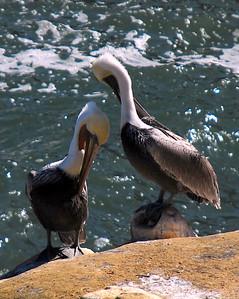 Bathing Pelicans