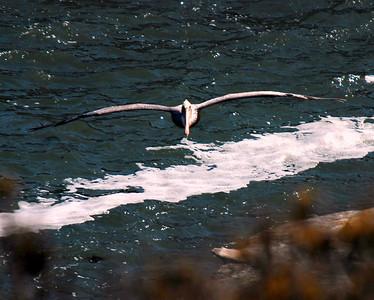 Arriving Pelican