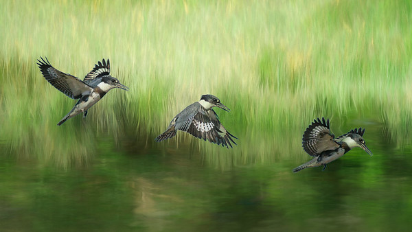 Belted Kingfisher - Wings in Time