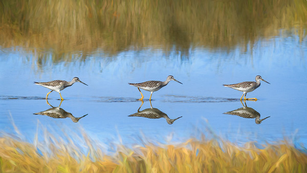 Greater Yellow Legs - Wings in Time