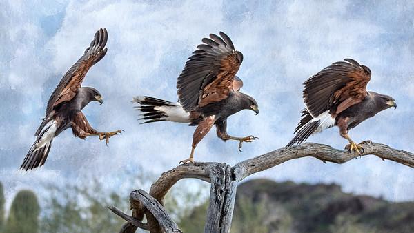 Harris' Hawk - Wings in Time