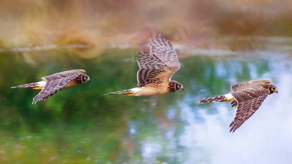 Northern Harrier -Wings in Time