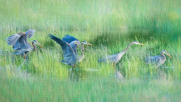 Great Blue Heron - Wings in Time