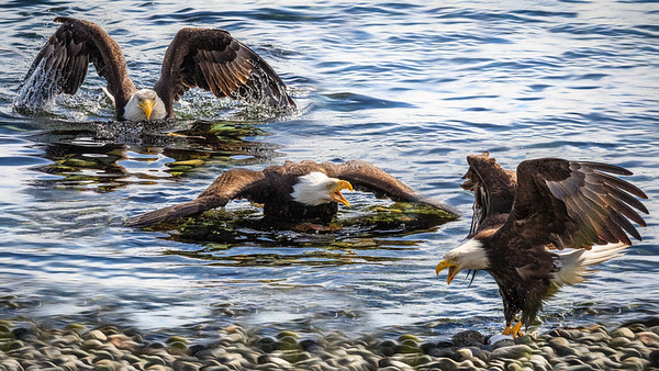 Bald Eagle - Wings in Time