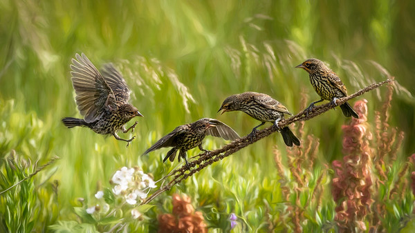 Red Winged Blackbird - Wings in Time