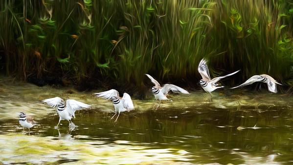 Killdeer - Wings in Time