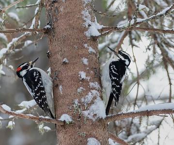 Mr. & Mrs. Hairy Woodpecker