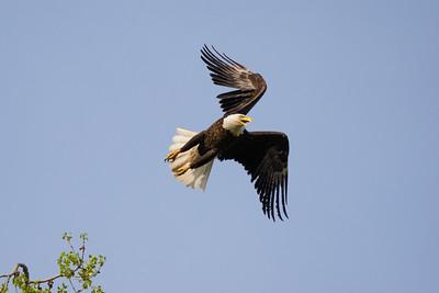 Eagle #15