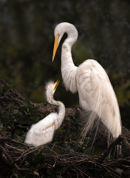 Great Egrets No. 1
