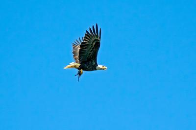 Eagle #5