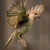 Fluttering Finch