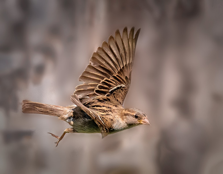 Finch in Flight