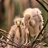 Two egret chicks take a cautious look at the great, wide world from their nest tucked in the trees at a rookery in St. Augustine, Florida, USA.