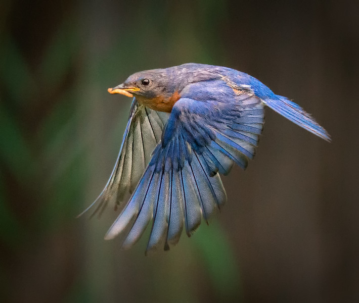 Bluebird No. 2